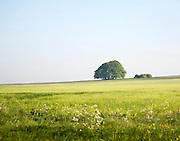 Summer landscape of chalk countryside with green crops and trees with blue sky of early morning, Avebury Down, Wiltshire, England
