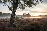 birch tree in the Wahner Heath near Telegraphen hill, morning fog, Troisdorf, North Rhine-Westphalia, Germany.<br /> <br /> Birke in der Wahner Heide nahe Telegraphenberg, Morgennebel, Troisdorf, Nordrhein-Westfalen, Deutschland.