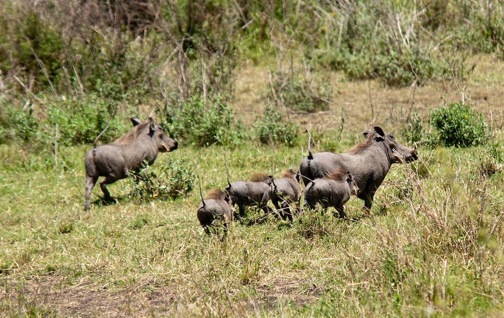 Warthog family - Ngiri (Pumba)