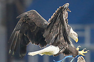 Kayla the Eagle brought Crystal Palace some luck today in their 1-0 win over Grimsby Town during the The FA Cup 3rd round match between Crystal Palace and Grimsby Town FC at Selhurst Park, London, England on 5 January 2019.