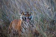 A male Bengal tiger exhibits flehmen behavior in tall grass (Panthera tigris tigris), Ranthambhore National Park, Rajasthan, India,