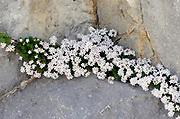 Alpine plants growing in limestone rocks. Fuente De,  Picos de Europa national park. Picos de Europa. Spain 06Jul12