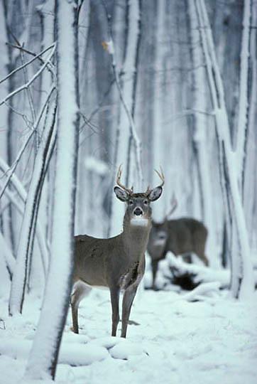 Whitetail Deer, (Odocoileus virginianus) Buck standing in Snowy timber.