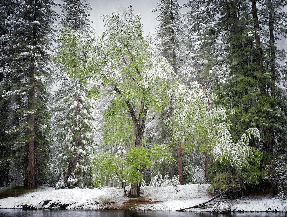 Yosemite, Ca - 2015: Yosemite Valley, 2015. Spring snowstorm at Cathedral Beach.