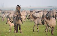 Konik horse, pair mating. Oostvaardersplassen, Netherlands. Mission: Oostervaardersplassen, Netherlands, June 2009.