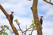 Sao Jose do Rio Preto_SP, Brasil...Programa Biota da Unesp, na foto pica-pau...The Biota program of Unesp, in this photo woodpeckers...Foto: JOAO MARCOS ROSA / NITRO