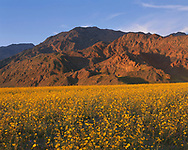 CADDV_050 - USA, California, Death Valley National Park, Sunset warms field of desert sunflower blooming beneath southern part of the Black Mountains. (7500x6000 px)