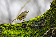 A ruby-crowned kinglet (Regulus calendula) searches for insects while briefly perched on an elm tree in Snohomish County, Washington. Ruby-crowned kinglets are very small birds with a length of about 4 inches (10 centimeters) and a wingspan of about 6 inches (16 centimeters). They typically weigh just 5 grams (0.2 oz), which is about the weight of a U.S. quarter dollar coin.
