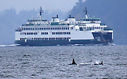 Two Orca whales swim past a ferry in Elliott Bay.<br />