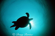 green sea turtle, Chelonia mydas, mature male (recognized by long, thick tail), in silhouette, Sipadan Island, off Borneo, Sabah, Malaysia ( Celebes Sea / Western Pacific Ocean )