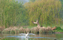 © Licensed to London News Pictures. 18/04/2019.<br /> Sidcup,UK.A white swan coming into land on the lake. Morning misty and foggy weather is slowly disappearing as the sun comes up at Footscray Meadows in Sidcup, South East London.Photo credit: Grant Falvey/LNP