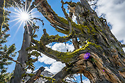 Sun starburst (at f/16 using Sony RX10 III camera) shines on lichen growing on twisted old tree wood at Glacier Pass. Backback to Mirror Lake in Eagle Cap Wilderness,  Wallowa–Whitman National Forest, Wallowa Mountains, Columbia Plateau, northeastern Oregon, USA. Hike 7.3 miles from Two Pan Trailhead (5600 ft) up East Lostine River to camp at popular Mirror Lake (7606 ft). Day hike to Glacier Lake via Glacier Pass (6 miles round trip, 1200 ft gain). Backpack out 8.7 miles via Carper Pass, Minam Lake and West Fork Lostine. From September 11-13, 2016 Carol and I walked 22 miles in 3 days.