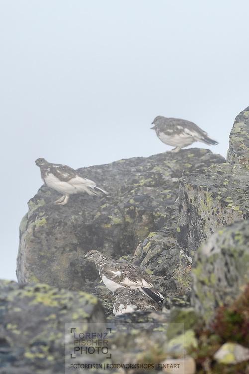 Four rock ptarmigans (Lagopus muta) on a foogy afternoon, Niederhorn, Interlaken, Berne, Switzerland