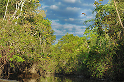 A proboscis monkey leaps approximately 20 meters high trees to cross the river to search for food near the Kinabatangan River, on August 5, 2019 near Sandakan city, State of Sabah, North of Borneo Island, Malaysia. Leap from this point is big risk, especially for their babies. Proboscis monkeys are endemic animals of Borneo. Palm oil plantations are cutting down primary and secondary forests vital as habitat for wildlife including the critically endemic proboscis monkeys. Palm oil plantations are cutting down primary and secondary forests vital as habitat for wildlife including the critically endemic proboscis monkeys. Photo by Emy/ABACAPRESS.COM