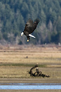 Bald Eagle (Haliaeetus leucocephalus) hovering over a stream of spawning salmon near the Harrison River during the Fraser Valley Bald Eagle Festival in Harrison Mills, British Columbia, Canada