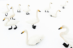 The swans were constantly standing up, sitting down, heading off, interacting and calling. 'I suddenly saw that this could be the key to a completely different kind of image - one that shows the rhythms of a flock's movements,' says Stefano. He started to imagine the group of swans as one, flowing over the ice, seen at different points in time and space, and he set out to create the illusion. The swan enters lower right, wanders around a bit, sits down a few times, and exits top right - a single shot of continuous time and motion.<br /> <br /> BIO: Stefano Unterthiner is widely published in magazines worldwide, the author of eight photography books and the winner of multiple awards in the Wildlife Photographer of the Year competition. He specializes in telling the life stories of animals, living in close contact with his chosen species for long periods. He also has a strong commitment to wildlife conservation and environmental issues, with a particular interest in human-wildlife conflict and coexistence. Since 2009, Stefano has been a regular contributing photographer for National Geographic Magazine. He lives with his wife Stéphanie and their children in the Aosta Valley, Italy.<br /> <br /> WEBSITE: stefanounterthiner.com<br /> INSTAGRAM: @stefanounterthiner