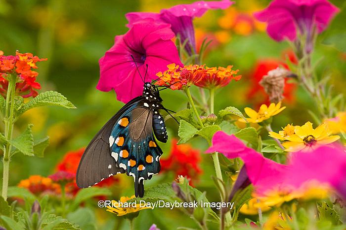 03004-00902 Pipevine Swallowtail (Battus philenor) on Red Spread Lantana (Lantana camara) in butterfly garden, Marion Co.  IL