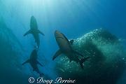 copper sharks or bronze whalers ( Carcharhinus brachyurus ) herd a bait ball of sardines or pilchards ( Sardinops sagax ) during the annual Sardine Run off the east coast of South Africa at Mboyti, Transkei or Wild Coast ( Indian Ocean )