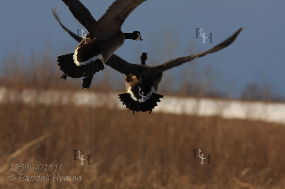 Canada geese (Branta canadensis) fly across wintry field at West Alton, Missouri.