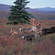 Barren Ground Caribou, (Rangifer arcticus) Bulls on tundra shedding velvet on antlers. Alaska. Fall.