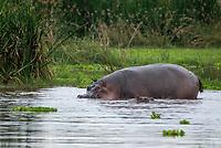 Hippopotamus, Hippopotamus amphibius, in a pond in Lake Manyara National Park, Tanzania