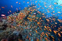 Anthias Swarming a Soft Coral Encrusted Wreck