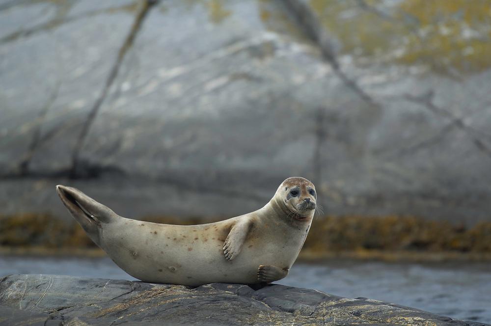 Harbor (or harbour) seal (Phoca vitulina), Koster archipelago, Bohuslan, Sweden