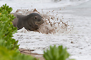 Hawaiian monk seal, Monachus schauinslandi, Critically Endangered endemic species, adult female resting on beach is splashed by surf on incoming tide,  Canoe Beach, Kaanapali, Maui, Hawaii ( Central Pacific Ocean )