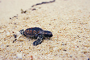 hawksbill turtle hatchling, Eretmochelys imbricata, scrambles across beach toward the sea, Turtle Island Park, Gulisaan Island, Sabah, Borneo, Malaysia  ( South China Sea )
