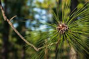 Catkins (male flowers), longleaf pine (Pinus palustris Miller)