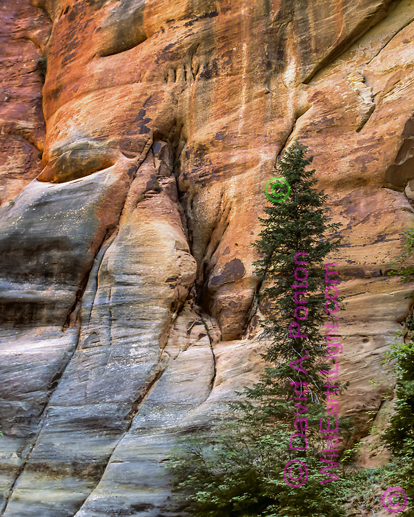 A small Douglas fir brings life to the sandstone contours along the narrow canyon of the North Fork of the Virgin River, © David A. Ponton