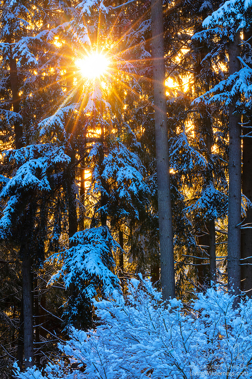 The golden winter sun shines through a snow-covered forest in Snohomish County, Washington.