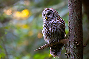 Golden sunlight filters through the forest behind a barred owl (Strix varia) in Edmonds, Washington. Barred owls feed mainly on small mammals, but will also prey upon other birds, reptiles, invertibrates and amphibians if the opportunity presents itself.