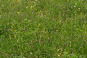 Wild flower meadow, Lullingstone Country Park, Kent UK