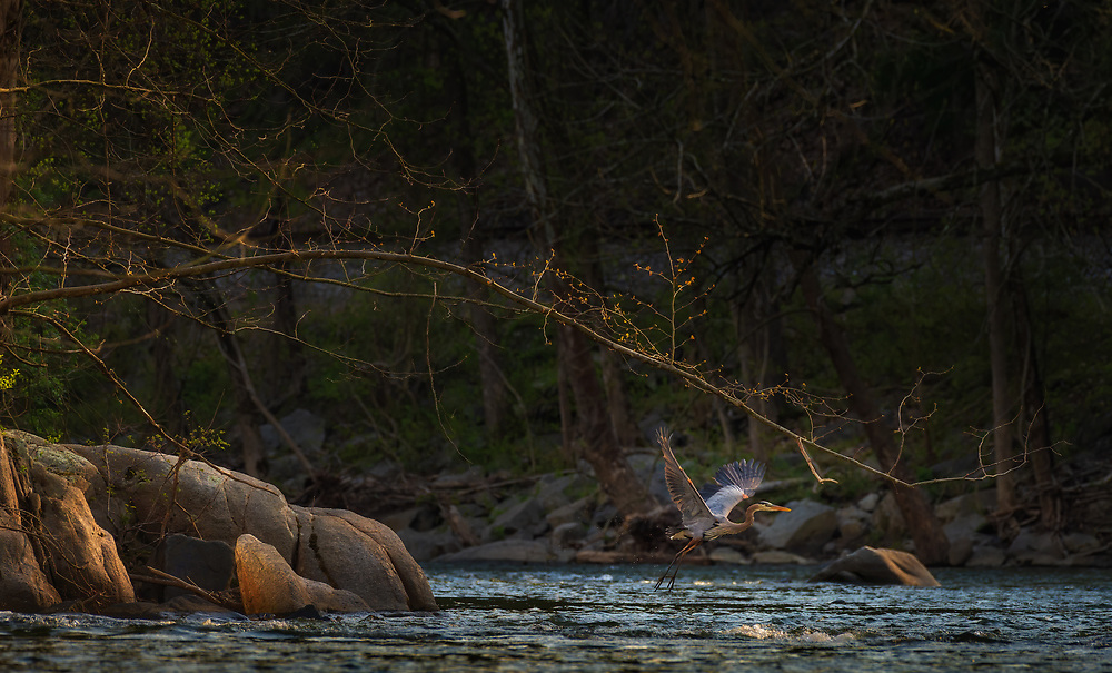 Late afternoon sun lights a Great Blue Heron as it takes off from the Patapsco River in Oella, Maryland.