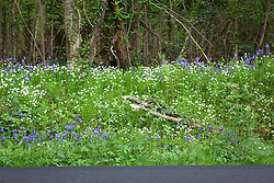 Bluebells and Stitchwort growing by a road near Exbury. Hyacinthoides non-scriptus, Stellaria holostea