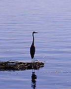 Great Blue Heron standing on a mat of reeds in the Sacramento River Delta.