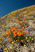 Poppies and wildflowers near Gorman, California