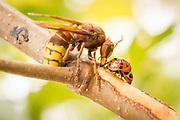 Hornet (Vespa crabro) and ladybirds drinking sap from birch sapling. Surrey, UK.