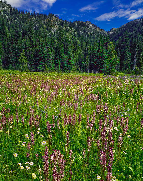 Escondido Meadow, elephanthead and daisey wildflowers, July, Alpine Lakes Wilderness, Casade Mountains, Washington, USA