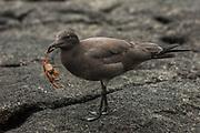 Lava Gull (Larus fuliginosus)<br /> Puerto Villamil, Isabela Island. GALAPAGOS ISLANDS,<br /> ECUADOR.  South America<br /> ENDEMIC TO GALAPAGOS ISLANDS & Rarest gull in the world