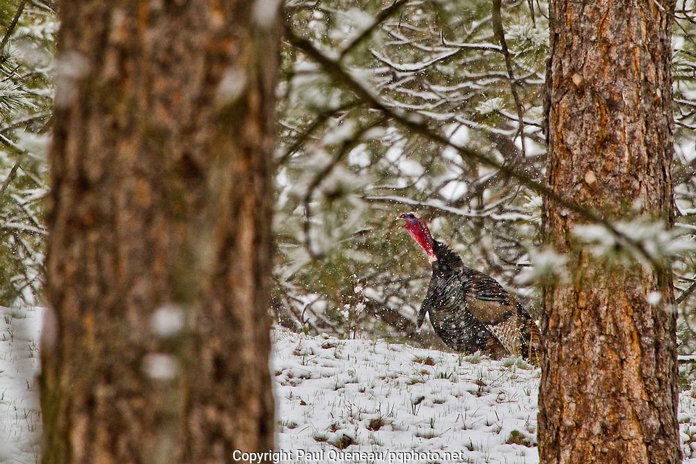 A mature wild turkey gobbles amid April snow near Missoula.