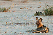 Wild dog or painted wolf (Lycaon pictus) Savuti channel, Linyanti region.<br /> BOTSWANA. Southern Africa.<br /> STATUS: ENDANGERED. THEY ARE THE MOST ENDANGERED LARGE CARNIVORE IN AFRICA AND THE SECOND MOST ENDANGERED CANID IN THE WORLD. This is due to habitat distruction, over-hunting and rabies.<br /> HABITAT: Wide tolerance. Prefer to hunt in open plains but then take refuge in wooded areas, often in mopane forests. They are crepuscular (early morning and dusk) and diurnal but will hunt at night during a full moon. <br /> They weigh 25-30 kg's with a shoulder height of 65cm.<br /> Wild dogs are the most successful hunters in the bush and they hunt co-operatively in packs and maintain a speed of 60km p/h for about 5km. Once caught the victim in quickly torn apart and devoured to prevent hyaenas and lions from stealing the carcass. Wild dogs take care of their young and sick and will readily share their food with other pack members. The whole pack helps to raise the young which are born of the dominant pair. (alpha male and female)<br /> They contact rabies from domestic dogs as they often cross through agricultural and rural areas.