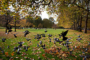 Autumn in London. Pigeons fly away amongst the fall trees in St James Park.