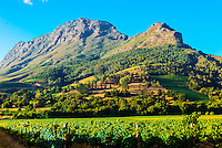 Vineyards, Zorgvliet Wines, near Stellenbosch, Cape Winelands, near Cape Town, South Africa.