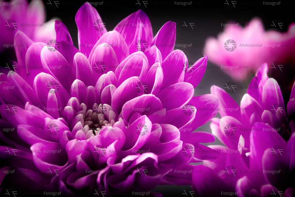 Pink margaritas or chrysants flowers shot in studio
