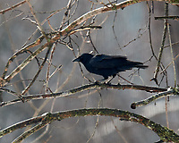 Black Crow. Image taken with a Nikon D5 camera and 600 mm f/4 VR lens