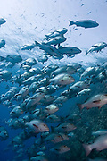 A large big school of snappers hunting at Ras Muhamad, Sinai, Egypt.