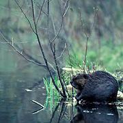 Beaver, (Castor canadensis) At edge of pond. Spring.  Minnesota.
