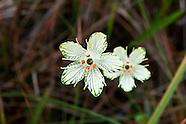 Celastraceae (Bog-stars)